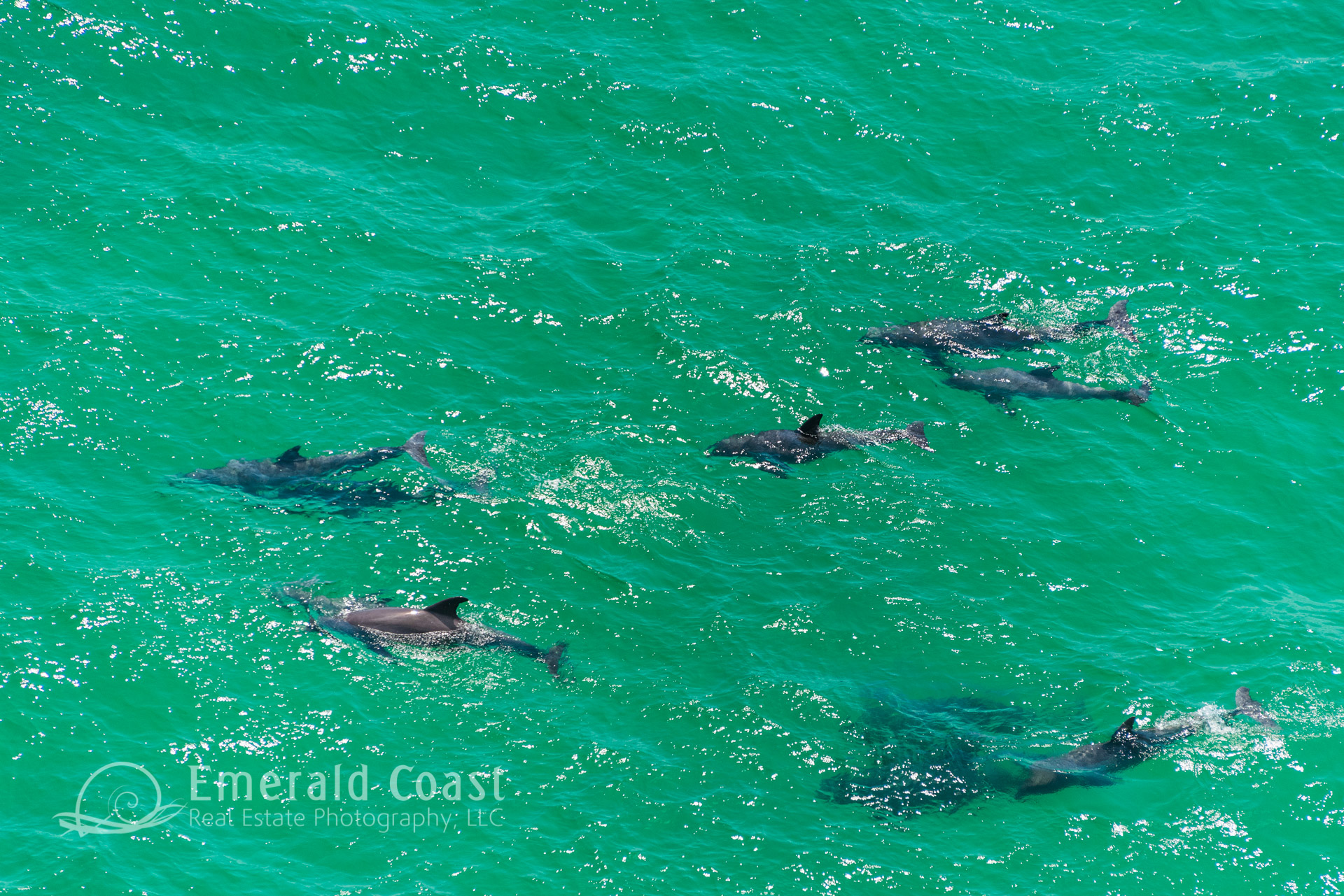 Pod of Dolphins in the Gulf of Mexico, Aerial Photography